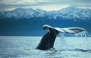 kaikoura whale tail