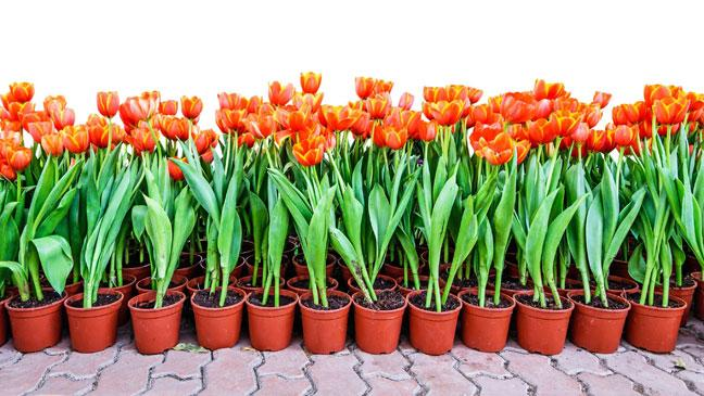 tulips-in pots
