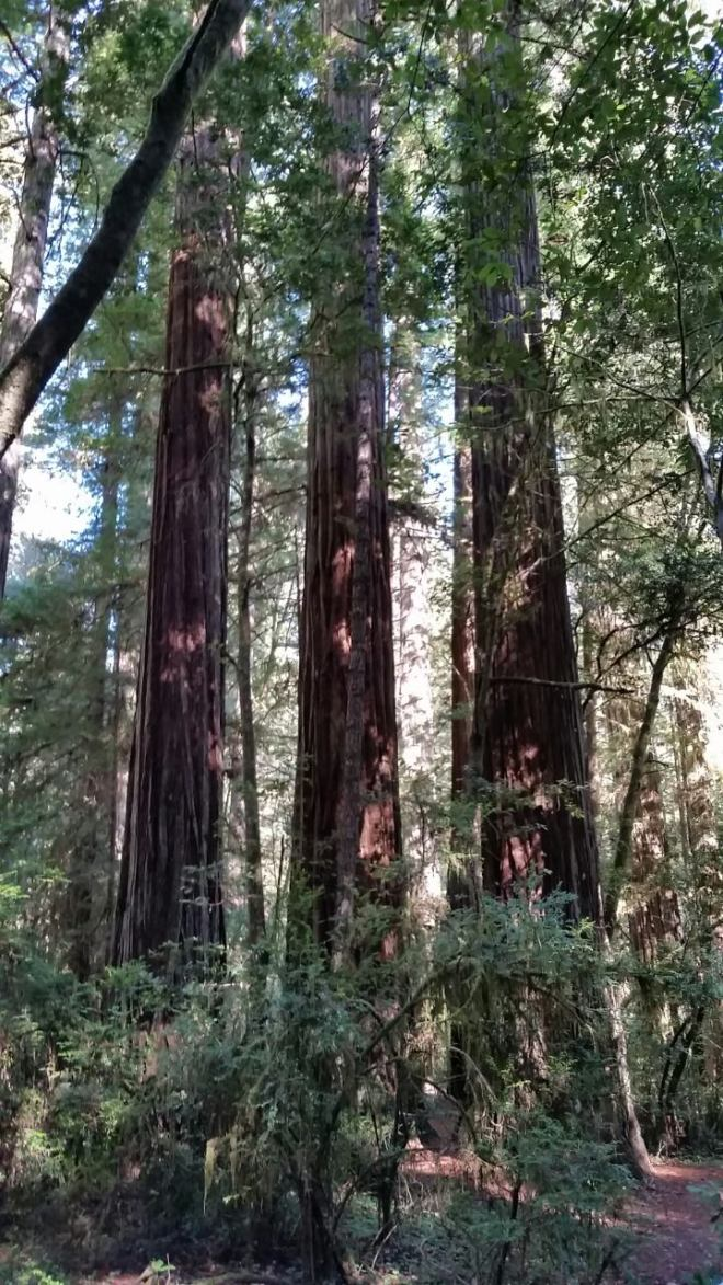 redwoods-triple