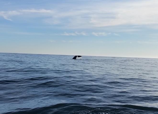 Whale Tail Kaikoura 2017