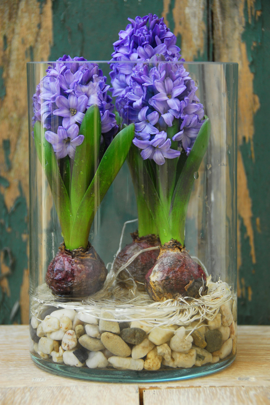 3 hyacinths bulbs in glass container