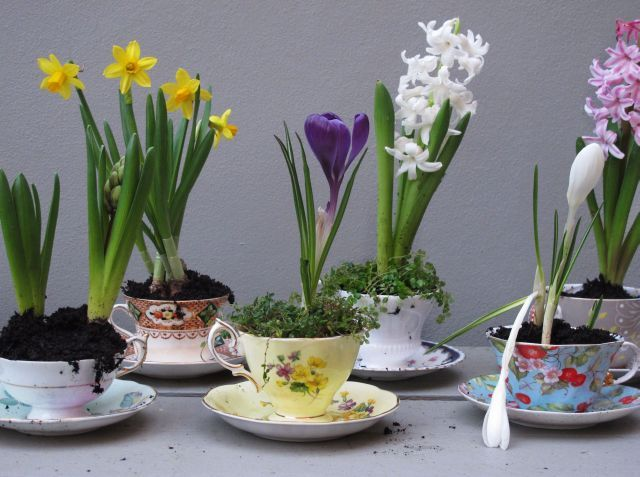 Spring bulbs in teac cups