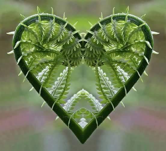 Heart Fern